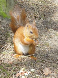 National Red Squirrel Week