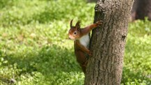 NT Red Squirrel